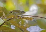 Plain Sunbird - Olijfgrijze Honingzuiger - Anthreptes simplex