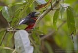 Zwart-rode Hapvogel - Black-and-Red Broadbill - Cymbirhynchus macrorhynchos