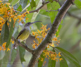 Kleine Spinnenjager - Little Spiderhunter - Arachnothera longirostra