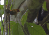 Rufous Piculet - Maleise Dwergspecht - Sasia abnormis