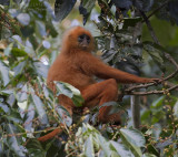 Maroon Leaf Monkey - Rode Langoer - Presbytis rubicunda