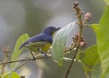 Yellow-rumped Flowerpecker - Geelstuithoningvogel - Prionochilus xanthopygius