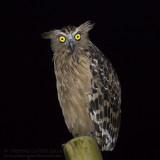 Buffy Fish Owl - Maleise Visuil - Ketupa ketupu