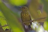 Purple-naped Sunbird - Gestreepte Honingzuiger - Hypogramma hypogrammicum