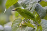Lesser Green Leafbird - Blauwbaardbladvogel - Chloropsis cyanopogon