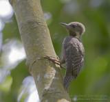 Buff-necked Woodpecker - Tukkispecht - Meiglyptes tukki