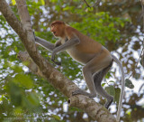 Proboscis Monkey - Neusaap - Nasalis larvatus