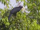 Black Hornbill - Zwarte Neushoornvogel - Anthracoceros malayanus
