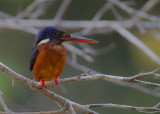 Blue-eared Kingfisher - Menintingijsvogel - Alcedo meninting