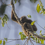 Müller's Bornean Gibbon - Borneogibbon - Hylobates muelleri