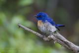 Malaysian Blue Flycatcher - Maleise niltava - Cyornis turcosus