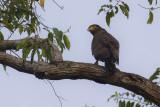 Crested Serpent Eagle - Indische Slangenarend - Spilornis cheela