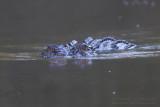 Saltwater Crocodile - Zeekrokodil - Crocodylus porosus