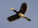 Oriental Pied Hornbill - Bonte Neushoornvogel - Anthracoceros albirostris