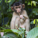 Southern Pig-tailed Macaque - Lampongaap - Macaca nemestrina