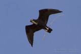 Bat Hawk - Vleermuiswouw - Macheiramphus alcinus