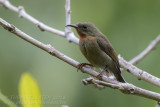 Crimson Sunbird - Geelrughoningzuiger - Aethopyga siparaja