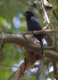 Greater Racket-tailed Drongo - Vlaggendrongo - Dicrurus paradiseus