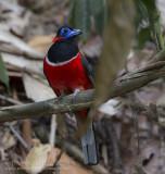 Red-naped Trogon - Roodnektrogon - Harpactes kasumba