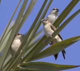 Indian Silverbill - Loodbekje - Euodice malabarica