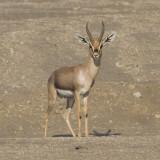 Mountain Gazelle - Berggazelle - Gazella gazella