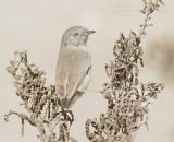 Asian Desert Warbler - Woestijngrasmus - Sylvia nana