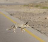 Arabian Red Fox - Vulpes vulpes arabica