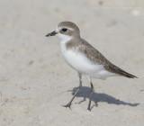 Lesser Sand Plover - Mongoolse Plevier - Charadrius mongolus