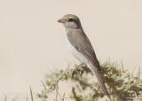 Red-tailed Shrike - Turksestaanse Klauwier - Lanius phoenicuroides