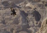 Verreaux's Eagle - Zwarte Arend - Aquila verreauxii