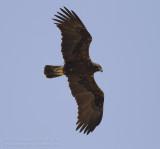 Eastern Imperial Eagle - Keizerarend - Aquila heliaca