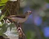 African Silverbill - Zilverbekje - Lonchura cantans