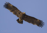 Greater Spotted Eagle - Bastaardarend - Clanga clanga