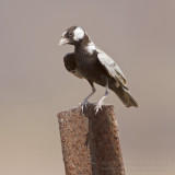 Black-crowned Finch Lark - Zwartkruinvinkleeuwerik - Eremopterix nigriceps