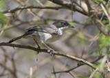 Arabian Warbler - Arabische Zwartkop - Sylvia leucomelaena