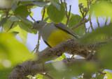 Bruce's Green Pigeon - Waaliapapegaaiduif - Treron waalia