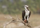 Western Osprey - Visarend - Pandion haliaetus