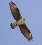 Bonelli's Eagle - Havikarend - Aquila fasciata