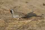 Namaque Dove - Maskerduif - Oena capensis