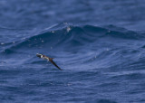 Bridled Tern - Brilstern - Onychoprion anaethetus