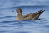 Flesh-footed Shearwater - Australische Grote Pijlstormvogel - Puffinus carneipes
