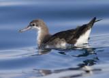 Persian Shearwater - Perzische Pijlstormvogel - Puffinus persicus