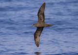 Jouanin's Petrel - Jouanins Stormvogel - Bulweria fallax