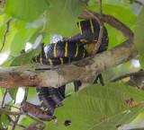 Gold-ringed Cat Snake - Mangrovennachtboomslang - Boiga dendrophila