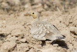 Chestnut-bellied Sandgrouse - Roodbuikzandhoen - Pterocles exustus