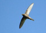 Common Swifts from Armenia (breeding birds)