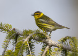 Cape May Warbler 0550