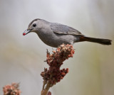 Catbird with Sumac berry 0919