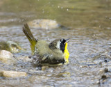 Common Yellowthroat 1089
