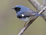 Black-throated Blue Warbler 1197